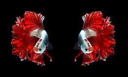 Czerwonej smok pary boju siamese ryba, betta ryba odizolowywająca dalej Obraz Stock