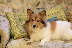 Czerwonej twarzy piękny pies zdjęcie stock
