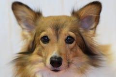Czerwonej twarzy piękny pies obrazy stock