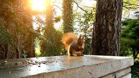 Czerwonej wiewiórki łasowania hazelnuts zbiory
