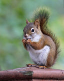 Czerwonej wiewiórki łasowania ziarna Obrazy Stock