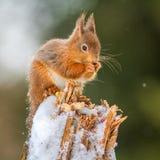 Czerwonej wiewiórki łasowanie w zimie Fotografia Royalty Free