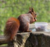 Czerwonej wiewiórki łasowania hazelnuts Zdjęcie Royalty Free
