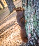 Czerwonej wiewiórki łasowanie na drzewie Fotografia Stock