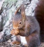 Czerwonej wiewiórki łasowanie w lesie Obraz Royalty Free