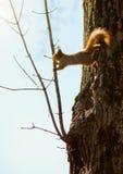 Czerwonej wiewiórki doskakiwanie na gałąź Zdjęcie Stock
