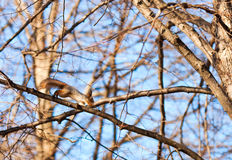 Czerwonej wiewiórki doskakiwanie na gałąź Zdjęcia Stock
