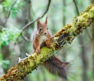 czerwonej wiewiórki drzewo Fotografia Stock