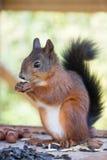 Czerwonej wiewiórki objadania dokrętki Obrazy Royalty Free