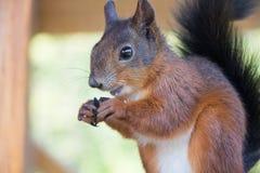Czerwonej wiewiórki objadania ziarna Zdjęcia Stock