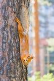 Czerwonej wiewiórki obsiadanie na drzewie i je obrazy royalty free