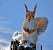 Czerwonej wiewiórki obsiadanie na drzewnym fiszorku Obraz Royalty Free