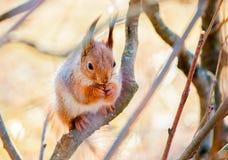 Czerwonej wiewiórki obsiadanie na gałąź Zdjęcia Royalty Free