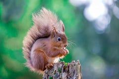 Czerwonej wiewiórki obsiadanie w Angielskim lesie fotografia royalty free