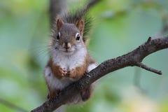 Czerwonej wiewiórki obsiadanie w drzewie Fotografia Stock