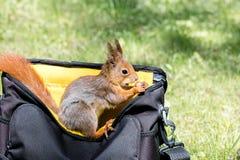 Czerwonej wiewiórki obsiadanie w torbie w miasta mieniu i parku dokrętka Fotografia Stock