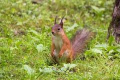 Czerwonej wiewiórki obsiadanie w trawie Obrazy Royalty Free