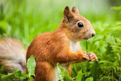 Czerwonej wiewiórki pozycja na tylnych nogach (Sciurus) Fotografia Stock
