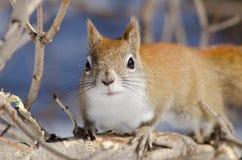 czerwonej wiewiórki zakończenia up twarz Zdjęcie Stock