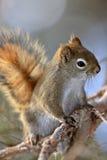 czerwonej wiewiórki zima Zdjęcia Stock