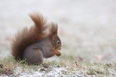 czerwonej wiewiórki zima Fotografia Royalty Free