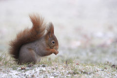 czerwonej wiewiórki zima Zdjęcia Royalty Free