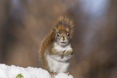 czerwonej wiewiórki zima Obrazy Royalty Free