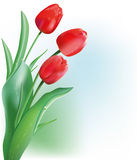 czerwonej wiosna tulipan Fotografia Royalty Free