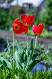 czerwonej wiosna tulipany Obraz Stock