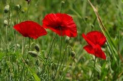 Czerwonej wiosny maczek Obrazy Royalty Free