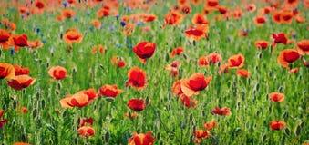 Czerwonej wiosny maczek Zdjęcia Royalty Free