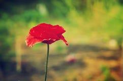 Czerwonej wiosny maczek Obrazy Stock