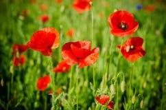 Czerwonej wiosny maczek Zdjęcia Stock
