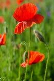 Czerwonej wiosny maczek Obraz Royalty Free