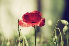 Czerwonej wiosny maczek Fotografia Stock