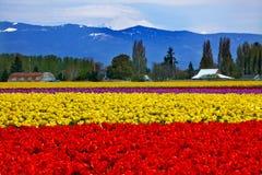 Czerwoni Żółci Tulipany Mt Piekarniany Skagit Waszyngton Zdjęcia Royalty Free