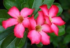 Czerwoni adenium kwiaty Zdjęcia Royalty Free