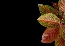 Czerwoni Aglaonema liście odizolowywający na czarnym tle, ścinek ścieżka zawierać Obraz Royalty Free
