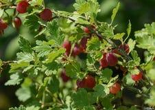 Czerwoni agresty na gałąź w ogródzie Pojęcie Mój ogród Zdjęcia Royalty Free