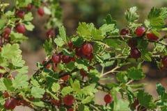 Czerwoni agresty na gałąź w ogródzie Witaminy, kopaliny, śladów elementy, organicznie kwasy, tannins i flavonoids, Zdjęcia Royalty Free