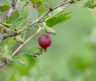 Czerwoni agresty na krzaku w ogródzie Obrazy Stock
