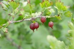 Czerwoni agresty na krzaku w ogródzie Fotografia Royalty Free