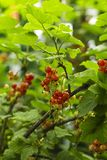 Czerwoni agresty w ogródzie obraz stock