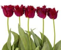 Czerwoni aksamitni tulipany Obrazy Royalty Free