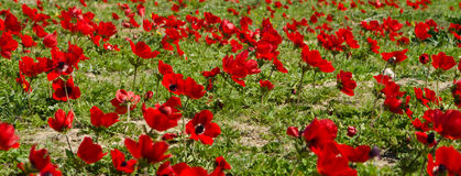Czerwoni anemony Obraz Royalty Free