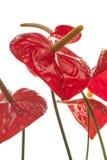 Czerwoni anthurium kwiaty (flaming) Fotografia Stock