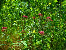 Czerwoni bagna kwiaty Obraz Royalty Free