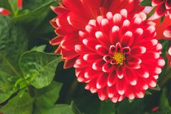 Czerwoni biali dalia kwiaty obrazy royalty free