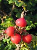 Czerwoni biodra jagodowi Obraz Stock