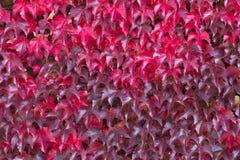 Czerwoni bluszczy liście w jesieni Zdjęcia Stock